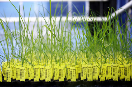 Genetically modified rice plants in a crop testing greenhouse. BASF/Flickr