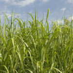 Mascoma: The biggest misspending of public funds for cellulosic biofuels ever?
