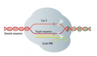 Diagram of the CRISPR CAS-9 Used under Creative Commons license from Test Biotech.