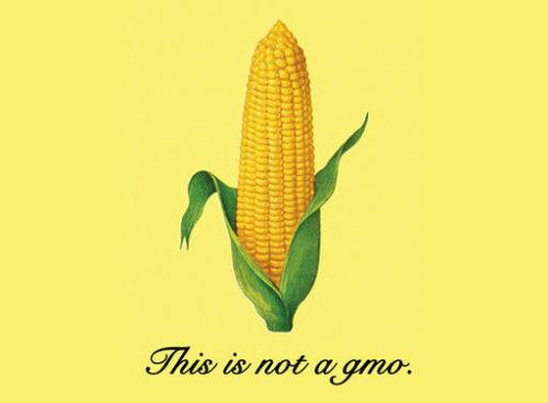 corn-gmo
