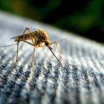 Victory! GE mosquitoes will not be let loose on Florida community
