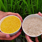 Don't Eat the Yellow Rice: The Danger of Deploying Vitamin A Golden Rice