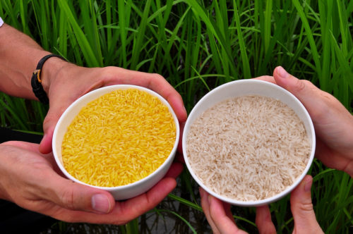 Golden Rice grain compared to white rice grain in screenhouse of Golden Rice plants. IRRI Photos
